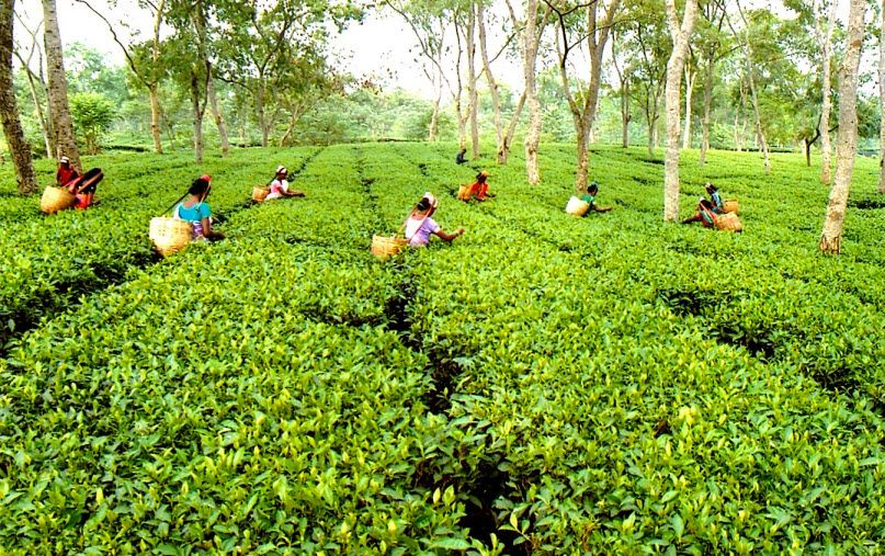 India, China to drive Global tea consumption & production