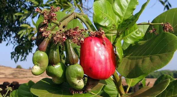 India produces 8.17 LMT cashew nut in 2017-18