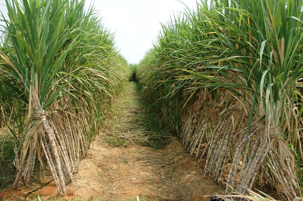 Sugar production estimated to be 355 lakh tonnes in 2018-19
