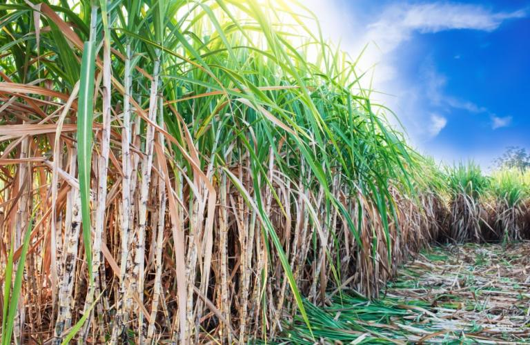 Mills begin sugarcane crushing, produce 11.63 lakh tons sugar
