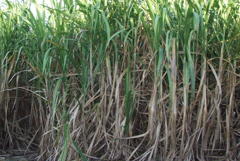 Sugar mills produce 39.73 lakh tonne sugar by Nov 30