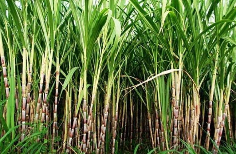 Sugar production reaches 321 lakh tonnes by April 30