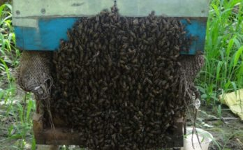 Beekeeping may see robust development soon