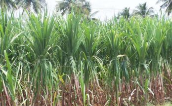Facing droughts, sugarcane acreage declines by 10%