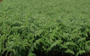 Drought tolerant & disease resistant chickpea varieties set to get released