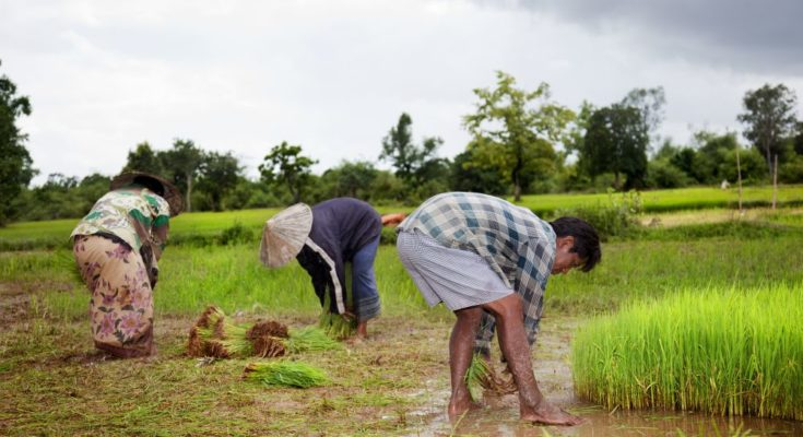 Rabi crops sowing stands at 571.84 la ha by December