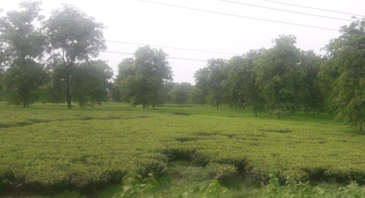 Scientists identify bacteria that can replace fertilisers & fungicides in tea plants