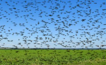 How have been the locust control operations in India?