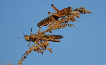 CropLife India issues advisory on locust control