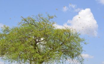 India carries out locust control operations in 245,780 ha by June 2
