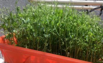 Kambala: Hydroponic source of high protein dairy fodder