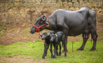 India's first batch of IVF buffalo calves born amidst lockdown