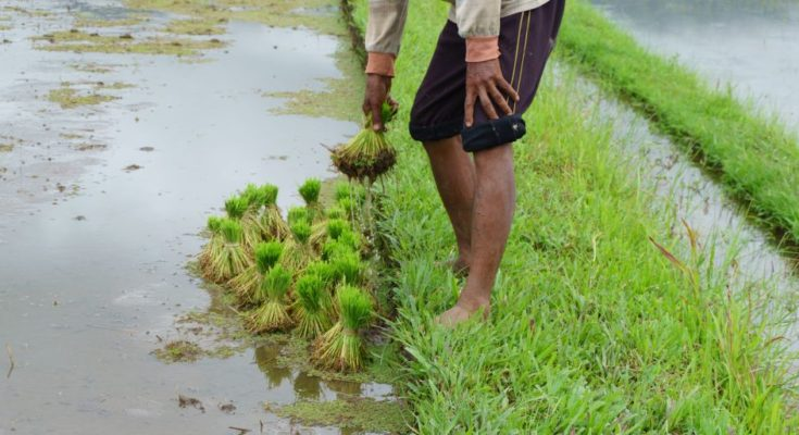 Kharif crops sown area increases 7.15% this year