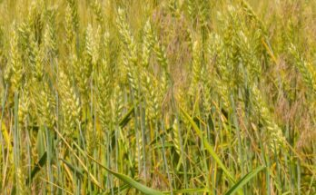 New wheat variety doubles farmers' yield in a Maharashtra village