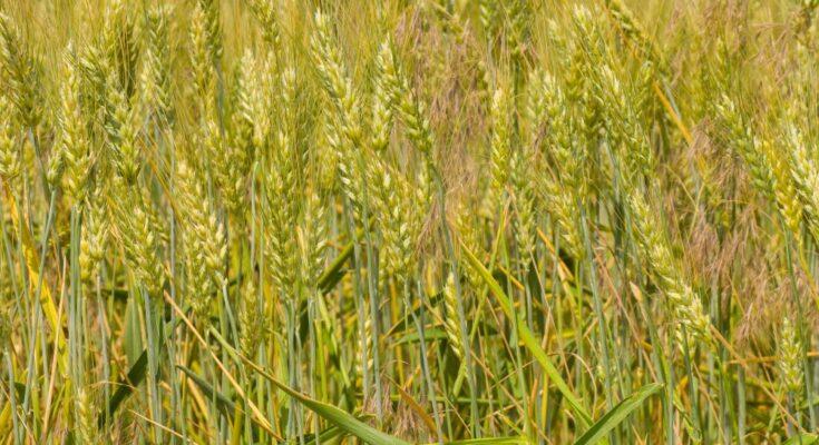 New wheat variety doubles farmers' yield in a Maharashtra village