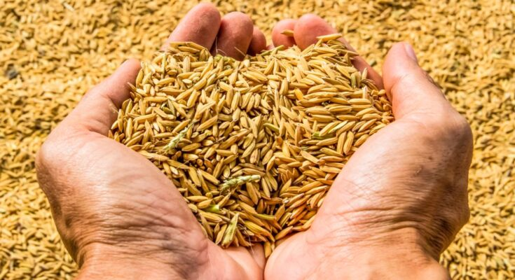 How have been the cultivation, research and export of Basmati rice?