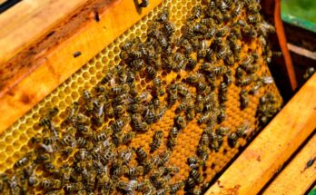 Bees are fundamental to global food security and biodiversity: FAO