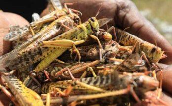 FAO's high-tech response helps fight against Desert Locusts