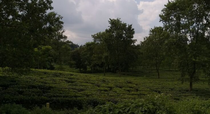 ACF, Trustea partner to promote sustainable tea production in West Bengal