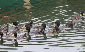 Duck Farming: A potential source of livelihood for poultry farmers