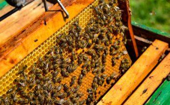 KVIC's Honey Mission provide livelihood to 15,000 beekeepers
