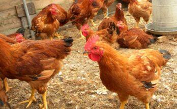 National Livestock Mission proposes to bring focus on entrepreneurship development