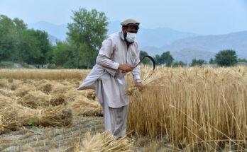 An Afghan farmer harvests his wheat in the Kuz Kunar district of Nangarhar, Afghanistan.