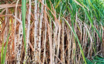 CCEA approves Rs 5 hike in fair and remunerative price of sugarcane for SS 2021-22
