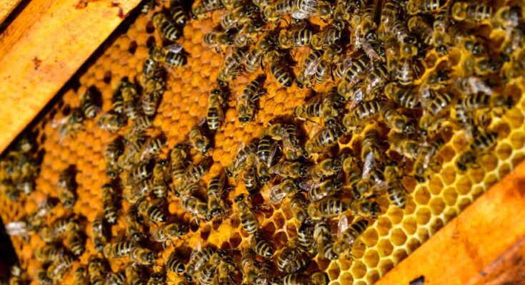 MANAGE, NBB to boost beekeeping in southern India, incorporate honeybees as agri input