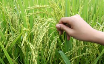 Focus on enhancing yield for sustained development holds the key; rice industry needs a comprehensive strategy: Infomerics study